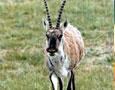 候选吉祥物--藏羚羊