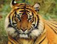 候选吉祥物--中国虎